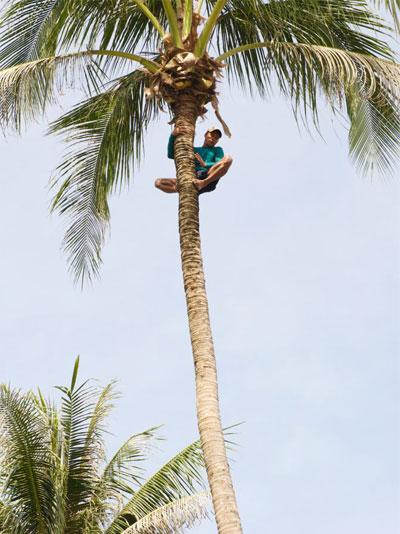 Récolte de noix de coco par un homme La Maison du coco Page d'Accueil