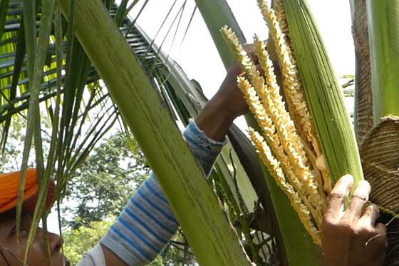 Photo de récolte de fleurs de coco pour fabriquer du sucre de coco produit La Maison du coco